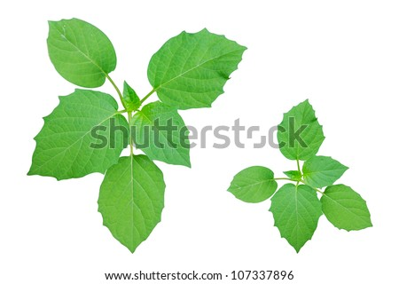 Leaves on white background ,isolated