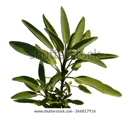 Leaves sage tea of a white background - stock photo