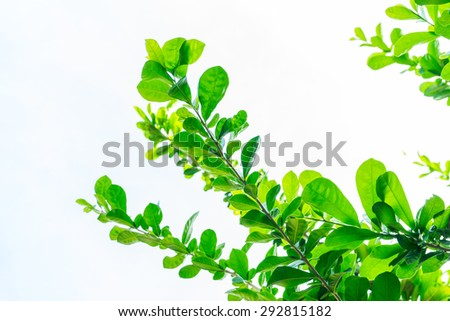Leaves Trees On white Background - stock photo