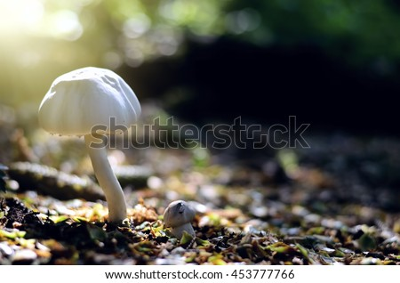 Leccinum scabrum, commonly known as the rough-stemmed bolete, scaber stalk, and birch bolete. Mushroom photo, forest photo, forest mushroom, forest mushroom photo. Gathering Wild Mushrooms. - stock photo