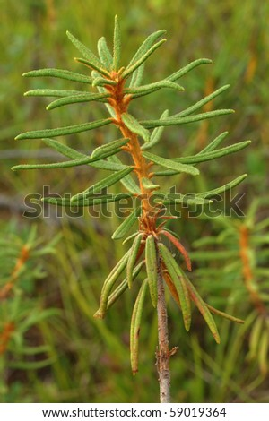 ledum is aromatic swamp plant used as herb and tea supplement - stock photo