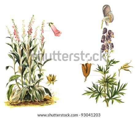 left Foxglove (Digitalis purpurea) and right Monkshood (Aconitum Napellus) - poisonous plants / vintage illustration from Meyers Konversations-Lexikon 1897 - stock photo