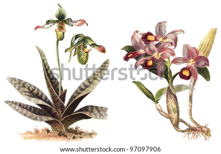 left Orchid (Paphiopedilum venustum) and right Orchid (Cattleya Skinneri) / vintage illustration from Meyers Konversations-Lexikon 1897 - stock photo