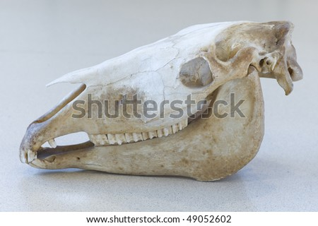 Left side of skull horse - stock photo