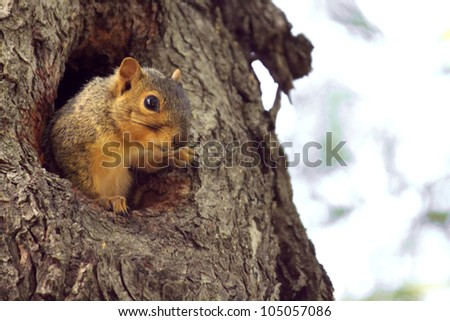 Lefty comes out of a hole in the old maple tree - stock photo
