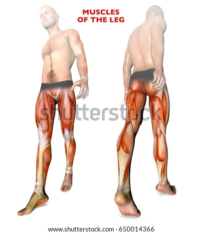 male human body anatomy muscles organs stock illustration, Muscles