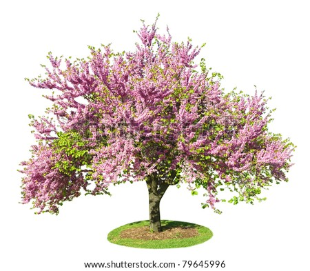 Legendary flowering  Judas Tree isolated on white background - stock photo