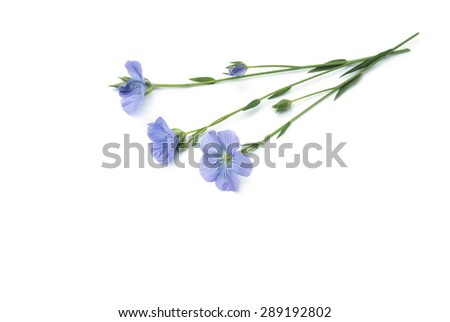 Lein linseed Flowers - stock photo