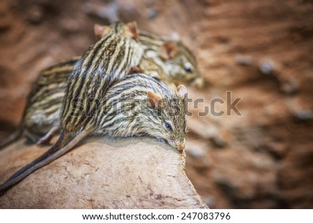 Lemniscomys, sometimes known as striped grass mice or zebra mice, is a genus of murine rodents from Africa - stock photo