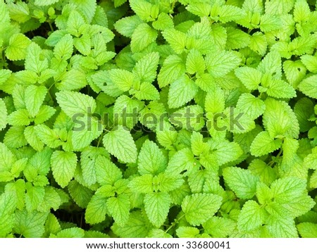 Lemon Balm - stock photo
