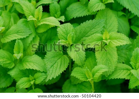 Lemon Balm leaves - stock photo
