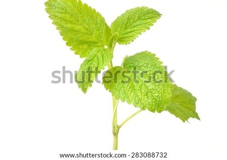 lemon balm,(Melissa officinalis)
