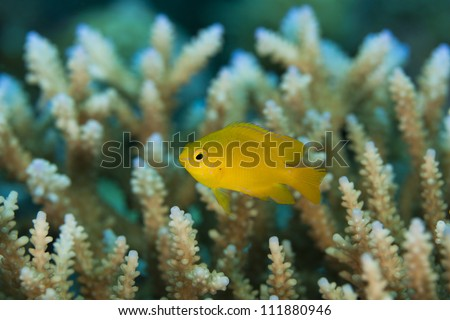 Lemon Damsel (Pomacentrus moluccensis) on a tropical coral reef off the islands of Palau in Micronesia.