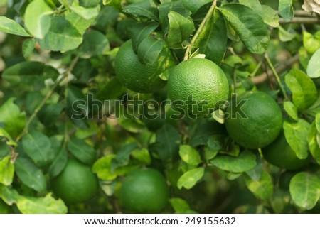 lemon fruit hanging on tree. - stock photo