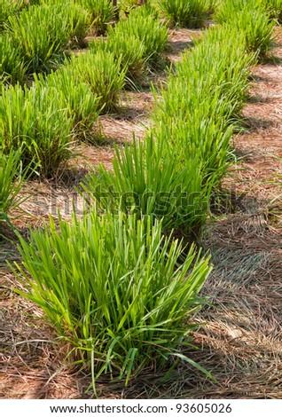 Lemon grass plant,North East of Thailand. - stock photo