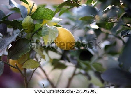 lemon hanging on the tree in the orchard in spring - stock photo