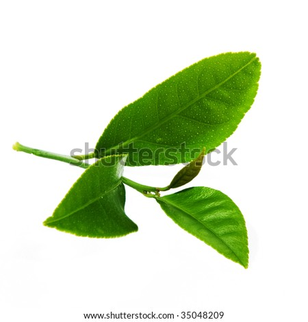 lemon leaves