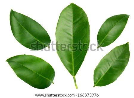 Lemon Leaves isolated on a white  - stock photo