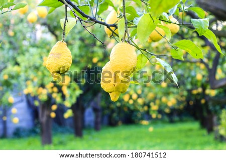 Lemon orchard in the south of Italy - stock photo