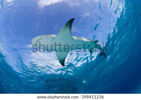 Lemon shark close to the surface in clear blue water with sun in the background. - stock photo
