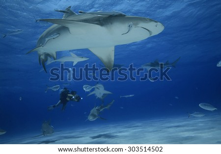 LEMON SHARK IN BAHAMAS WITH A UNDERWATER CAMERAMAN IN BACKGROUND - stock photo