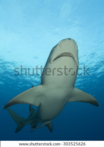LEMON SHARK SWIMMING CLOSE TO THE SURFACE