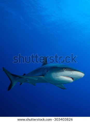 LEMON SHARK SWIMMING IN THE CLEAR WATER OF BORA-BORA ISLAND IN FRENCH POLYNESIA