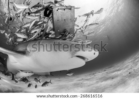 Negaprion brevirostris stock photos images pictures for Jack in the box fish