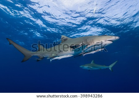 Lemon shark with remoras from the side in clear blue water. - stock photo