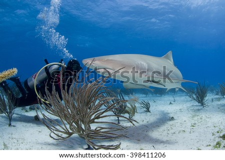 Lemon shark with scuba diver in clear blue water. - stock photo