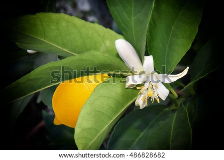 Lemon Tree Blossom being pollinated by Ants