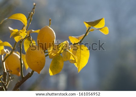 Lemon tree in sunrise - stock photo