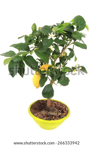 lemon tree isolated on the white background - stock photo