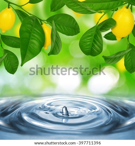 Lemon tree with lemons above the water level - stock photo