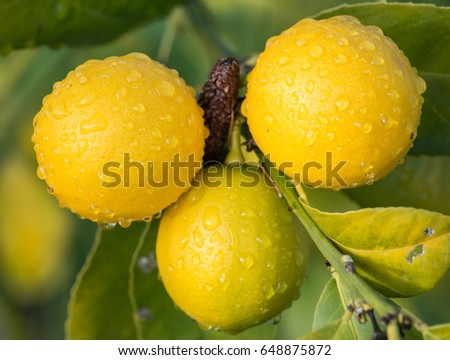 Lemon tree with the morning dew.