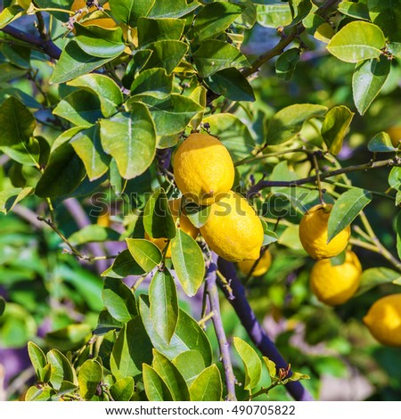 Lemon tree with yellow fruits and green leaves, Israel