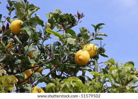 lemon tree with yellow lemons on a blue sky background - stock photo