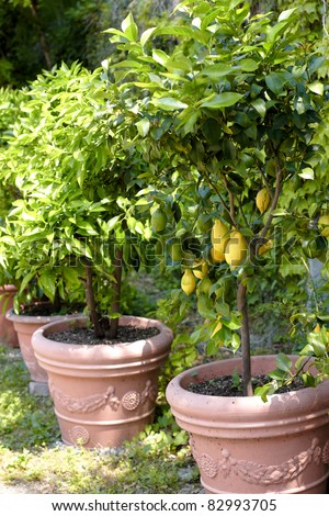 Lemon trees planted in plant pots and lined up - stock photo