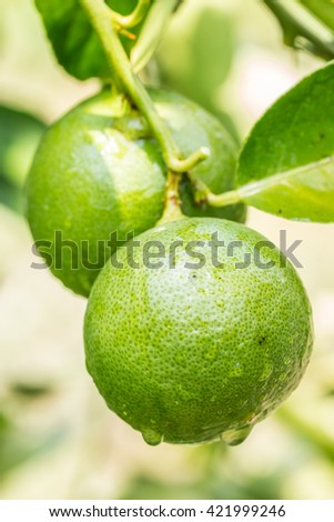 Lemons (limes), green lemon on tree, with water droplets, planted in Thailand. Macro image. - stock photo
