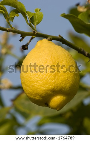 Lemons on a lemon tree in Murcia, Spain.