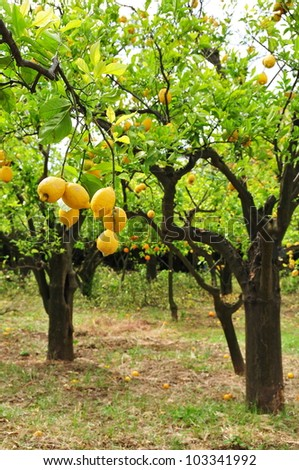 Lemons on tree - stock photo