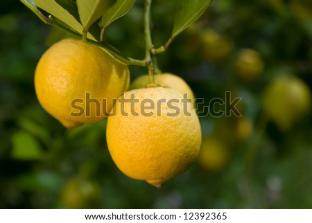 Lemons ripening in the mediterranean sun - shallow depth of field