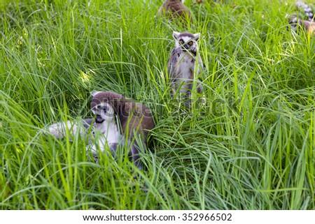Lemoore in ambush, Ring-tailed Lemur (Lemur catta) - stock photo