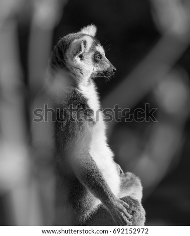 Lemur black and white photo