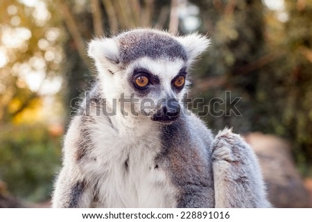 Lemur catta - stock photo