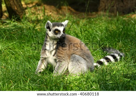Lemur in the grass - stock photo