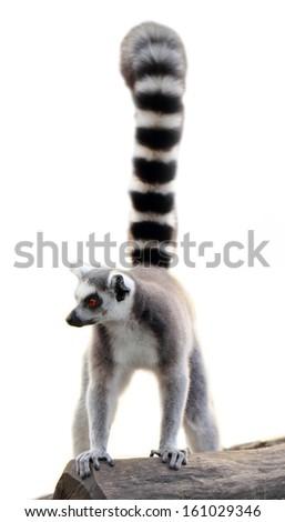 lemur isolated - stock photo