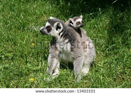 Lemur mather with son - stock photo