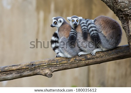 lemur monkey family on a tree - stock photo
