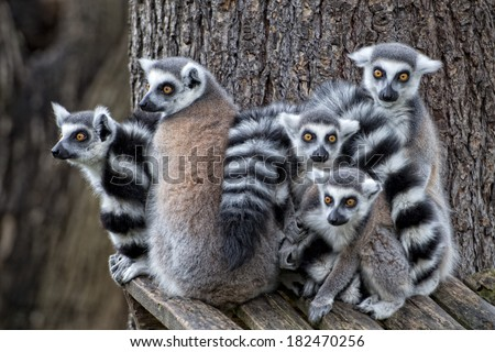 lemur monkey family on the grass - stock photo